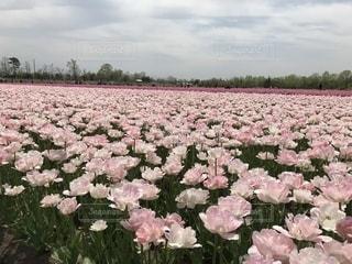 春,ピンク,チューリップ,チューリップ畑,桃色