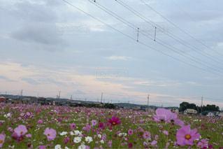 花,コスモス,夕暮れ,コスモス畑