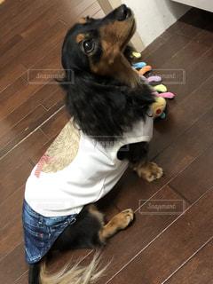 夏服の犬の写真・画像素材[1396312]