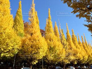 空,秋,紅葉,東京,青空,黄色,並木,イチョウ,銀杏,神宮,都内,秋空,外苑,いちょう