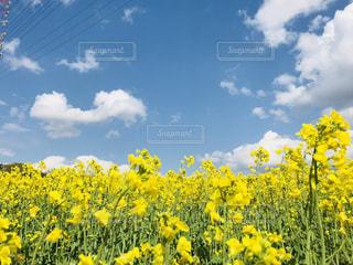 空,花,青,黄色,菜の花