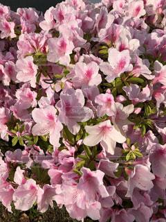近くにピンクの花の束のアップの写真・画像素材[1402334]