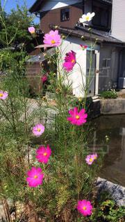 ピンク,白,コスモス,晴天,散歩,川辺,そよ風,戸外