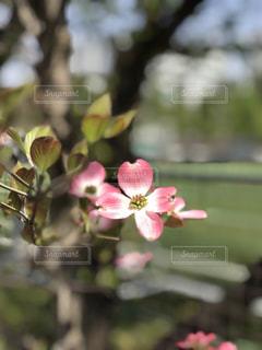 三鷹の横河グラウンド前のピンクのはなみずきの写真・画像素材[1401740]