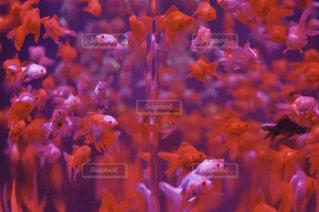 ピンク,金魚,水槽,桃色,おでかけ,家内,写真素材,フォトコンテスト