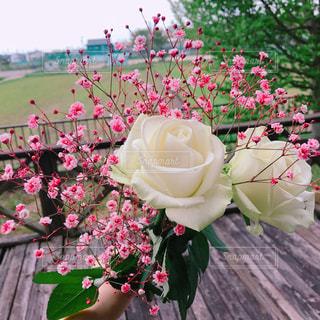 薔薇の写真・画像素材[1402275]