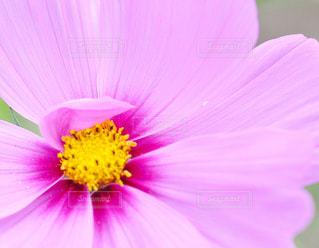 自然,花,秋,ピンク,植物,コスモス,秋桜