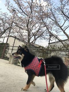 桜の写真・画像素材[2074622]
