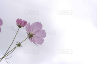 自然,花,秋,コスモス,秋桜,大内宿