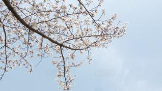 自然,空,桜,花見,景観