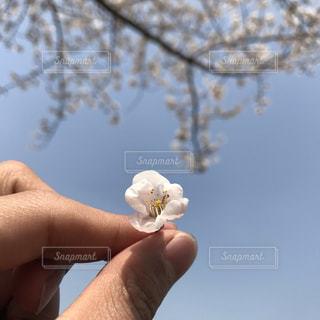 自然,春,桜,花見,景観