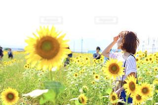 ひまわり畑の写真・画像素材[1403391]