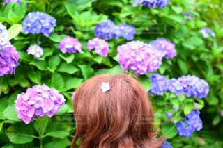 紫陽花の花びらの写真・画像素材[1414577]