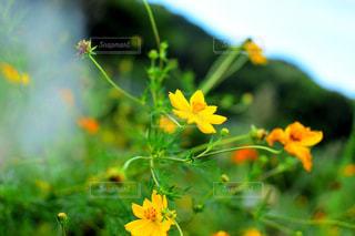 黄色の写真・画像素材[1505720]