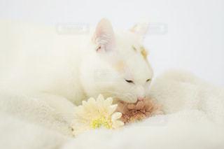 猫,花,動物,屋内,白,ペット,白猫,ホワイト,愛猫,造花