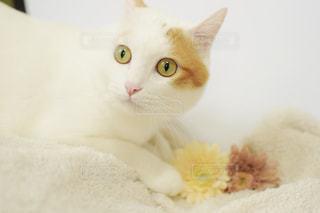 猫,動物,屋内,白,ペット,白猫,ホワイト,愛猫,造花