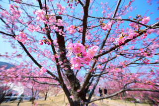 河津桜の写真・画像素材[1795362]