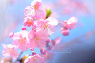 河津桜の写真・画像素材[1795364]