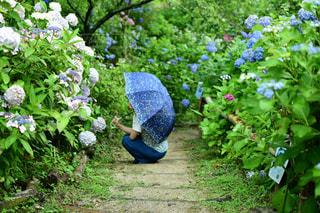 紫陽花の雨の写真・画像素材[2200695]