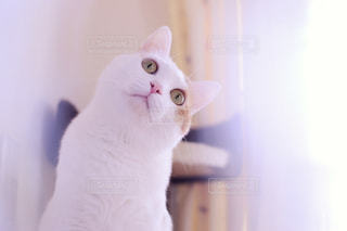 カメラを見ている猫の写真・画像素材[2338363]