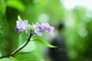 紫陽花の写真・画像素材[4606836]