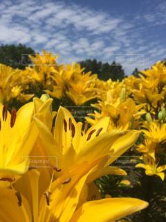 黄色の写真・画像素材[619599]