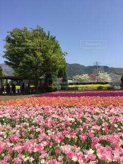 花,花畑,ピンク,景色,チューリップ,庭園,garden,pink,ハーブ庭園