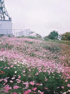 花,秋,コスモス,フィルム,フィルムカメラ