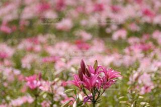 花,花畑,ピンク,ゆり,百合,ゆり園