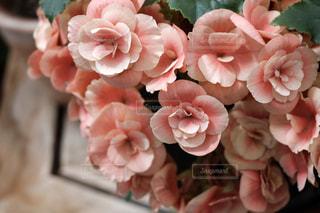 花,ピンク,かわいい,ベゴニア