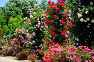 花,ピンク,緑,かわいい,バラ,薔薇,ガーデン