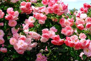 花,ピンク,緑,花束,かわいい,バラ,薔薇,ガーデン