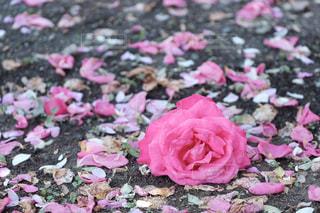 花,夏,ピンク,かわいい,バラ,薔薇,草木