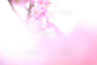 花,桜,ピンク,かわいい,サクラ,桜色,桃色,pink