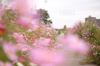 花,ピンク,かわいい,コスモス,桜色,コスモス畑,桃色,pink