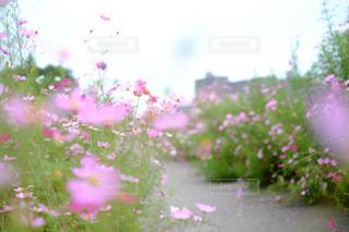 自然,花,秋,ピンク,景色,コスモス畑,コスモスロード
