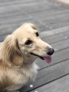 犬,動物,かわいい,ダックス,ミニチュアダックス