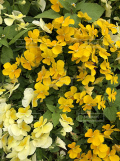 黄色の花の束の写真・画像素材[1409529]
