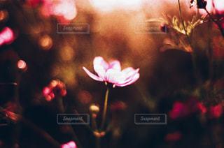 花,秋,ピンク,コスモス,笠岡ベイファーム