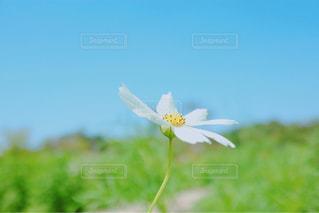 花,秋,花畑,白,コスモス,爽やか,可愛い