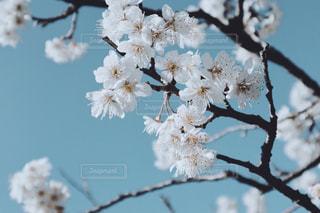 梅の花と春の青空の写真・画像素材[2036087]