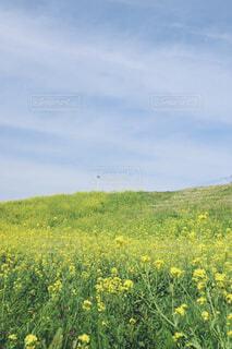 なの花畑の写真・画像素材[4294259]