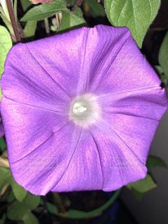 紫の花アサガオの写真・画像素材[1411523]
