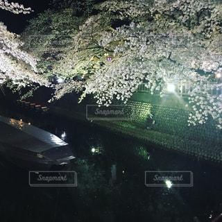 桜,夜,ピンク,水面,大垣市