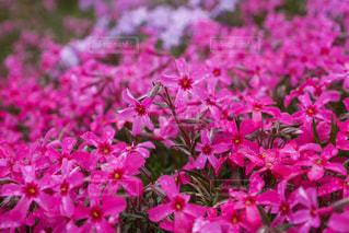 ピンク,北海道,芝桜,ピンクだらけ