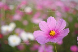 花,ピンク,かわいい,コスモス,可愛い,秋桜,ボケ,はな,お洒落,一眼レフ,一眼,ピンク色,桃色,pink,広島県,おしゃれ,フォトジェニック,ぴんく,世羅,世羅高原,インスタ映え
