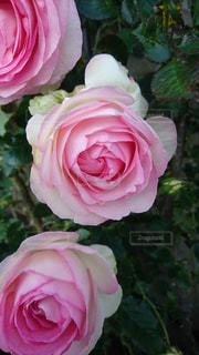 花,ピンク,バラ,薔薇,グラデーション,草木,色・表現