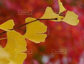 秋,紅葉,赤,カラフル,黄色,北海道,イチョウ,真駒内公園