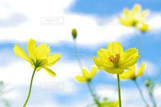 花,コスモス,草木