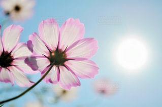 秋桜と太陽の写真・画像素材[1414891]
